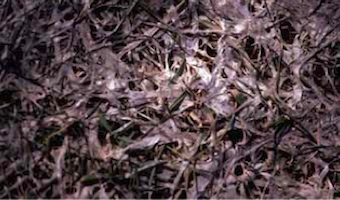 snow mold symptoms and signs