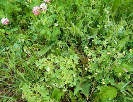 Clover, black medic and yellow woodsorrel in one patch of infested turf.