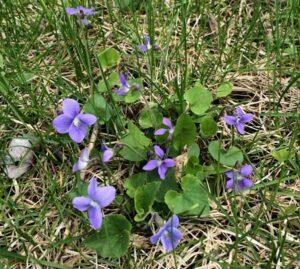 Wild violet flowering in turf. Photo by Kevin Frank, MSU.